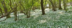 wild Garlic. Somerset, UK