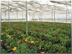 India - How bumblebees can boost polyhouse production in Karnal's agro business