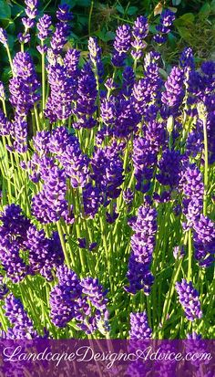 Lavender is a beautiful, low maintenance perennial. Not only are the flowers so pretty to look at, they are fragrant also. Cut some and bring them in for sachets or just to put in a vase. An excellent variety is 'Hidcote'.