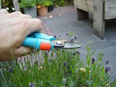 Michel's blog – Tijd om te oogsten. Lavendel snoeien.