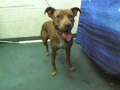 DAISY (A1639806) I am a female brown Terrier mix.  The shelter staff think I am about 3 years old.  I was found as a stray and I may be available for adoption on 09/04/2014. — hier: Miami Dade County Animal Services. https://www.facebook.com/urgentdogsofmiami/photos/pb.191859757515102.-2207520000.1409390277./831682536866151/?type=3&theater