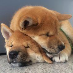 Snuggling Shiba, #tbt to our last week together. Love, Finn & Louie #shibainu @puppiesforall
