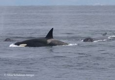 Humpback Whales Intervene in Orca Attack on Gray Whale Calf (2012)