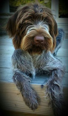 German wirehaired pointer!