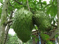 L'arbre Graviola vient des profondeurs de la forêt amazonienne. Des recherches en laboratoire ont montré que des extraits de cette plante miraculeuse peut lutter contre le cancer avec un traitement entièrement naturel qui ne provoque ni nausées, ni perte de poids et ni perte de cheveux, de protéger le système immunitaire et d'éviter les infections …