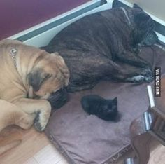 260lbs of Dog defeated by a 1.5 pound kitty.
