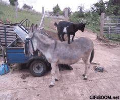 New trending GIF on Giphy. animals goat donkey. Follow Me CooliPhone6Case on Twitter Facebook Google Instagram LinkedIn Blogger Tumblr Youtube