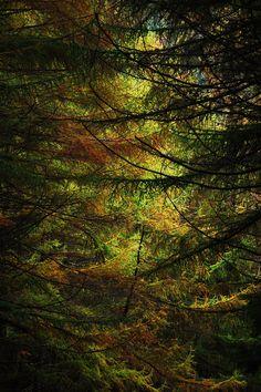 Dwarfed by pines