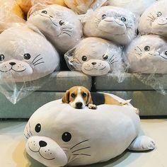 Comfy #beagle