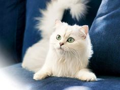 Turkish Angora Cat is a breed of domestic cat. Turkish Angoras are one of the ancient, natural breeds of cat, having originated in central Turkey, in the Ankara region. Turkish Angora Cat, Angora Cats, Cute Kittens, Cats And Kittens, Funny Cats, Funny Animals, Cute Animals, Funny Cat Wallpaper, Mac Wallpaper