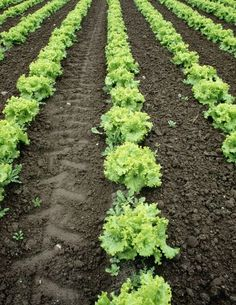 Lettuce: Planting, Growing and Harvesting Lettuce Plants