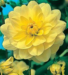 ~~Dahlia - Moon Magic   Australian Gardener~~
