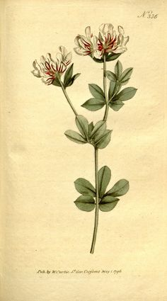 Botanical Print Poster From The Botanical Magazine Of White And Red Flowers