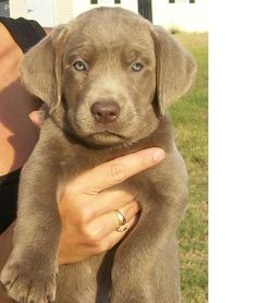I really want a silver lab!!