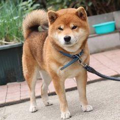 Shiba Inu Ryuji is such a fluffy hunk a lunk!!