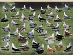 Pigeon art: Color of Swallow Pigeons by Gary Romig