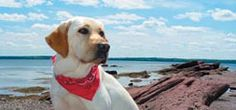 Meet Smudge, a Golden Labrador Retriever who resides at Fairmont St. Andrews in Scotland.