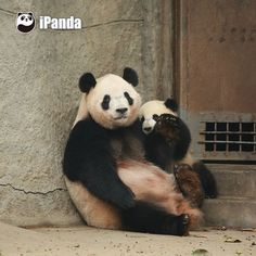 Hug or No hug, that's a question! #videooftheday #animalvideo #funnyvideo #Sichuan #cute #ipanda #pet #panda #pandapic #cutenessoverloaded