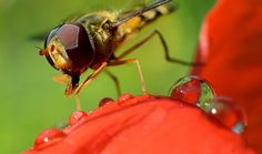 week in wildlife: A hoverfly (Syrphidae) sits on a blossom of a poppy