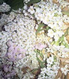 """Die Schafgarbe ist eine der 40 wichtigsten Heilpflanzen von Maria Treben. Ihr Volksname lautet """"Heil aller Schäden"""" - ein wahrer Tausendsassa. Achillea Millefolium, Kraut, Minerals, Floral Wreath, Herbs, Vegetables, Plants, Inspiration, Aromatherapy"""