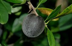 Pouteria australis, the Black Apple. Not at all related to apples, but a quirky edible Australian fruit.