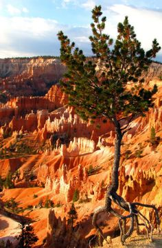 Tree Firmly Rooted on Canyon's Edge - Bryce Canyon National Park, Utah