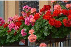 muscatele se uda cu drojdie si zahar dizolvate in apa Window Box Plants, Window Box Flowers, Window Boxes, Red And White Flowers, Orange Flowers, Growing Flowers, Planting Flowers, Seeds For Sale, Drought Tolerant Plants