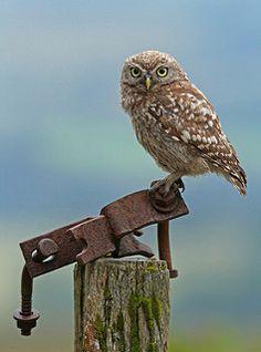 Kirkeugle (Athene noctua) (Little owl) - Truet art - Åbent land. Poppel- og piletræer og kirker.