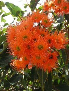 Corymbia ficifolia 'Dwarf Orange'