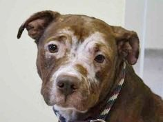 SAFE 5-10-2015 by Rescue Dogs Rock NYC --- Manhattan Center MOLLY  – A1035006  FEMALE, BROWN / WHITE, AM PIT BULL TER MIX, 1 yr, 6 mos OWNER SUR – ONHOLDHERE, HOLD FOR ID Reason PERS PROB Intake condition EXAM REQ Intake Date 05/02/2015 http://nycdogs.urgentpodr.org/molly-a1035006/