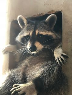 Ello there gov'na. There's Literally A Raccoon Cafe In Seoul, Korea And It Will Change Your Life Cute Baby Animals, Animals And Pets, Funny Animals, Wild Animals, Beautiful Creatures, Animals Beautiful, Animal Pictures, Cute Pictures, Pet Raccoon