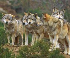 Les loups sont bien de retour dans les Pyrénées principalement dans les Pyrénées Orientales et dans l'Ariège. Ces derniers temps, les loups qui avait disparu de France depuis 1940, ont repeuplé tout les massifs montagneux français. Ce qui est étonnant c'est que les loups des pyrénées viennent d'Italie (massifs des Abruzzes) et ont traversé tout le sud de la France alors que du coté Espagnol les loups sont Ibériques.