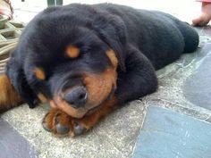 Sweet little Rottie pup.