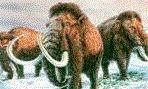 Планета Земля и Человек: Гибрид слона и мамонта заселит тундру Сибири?