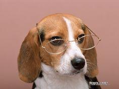 BEAGLE DOG | Beagle Dog photos - Beagle Wallpapers 1024*768 NO.4 Wallpaper