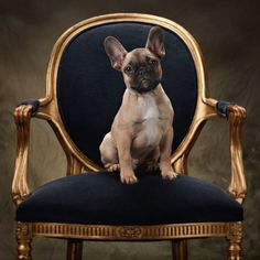 French Bulldog on gold chair