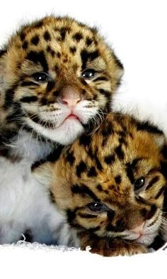 Leopard Cubs, so beautiful!