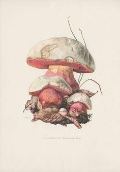 Vintage Botanical Print, Set of 6 Mushroom Illustrations, Boletus Fungi From a collection of fungi lithographs published in Original Vintage Botanical Prints, Botanical Drawings, Antique Prints, Botanical Art, Vintage Prints, Art And Illustration, Old Illustrations, Historia Natural, Mushroom Art