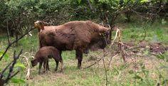 Teverga, el bebé bisonte y la prehistoria en vivo.  #cultura #culture #Asturias #ParaísoNatural #Spain #prehistoria #prehistory
