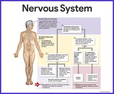 Nervous System Anatomy and Physiology - Nurseslabs Nervous System Diagram, Nervous System Anatomy, Human Nervous System, Peripheral Nervous System, Central Nervous System, Limbic System, Endocrine System, Human Body Diagram, Brain Diagram