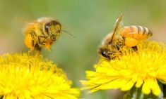 Dandelions are demonised as one of the most pernicious weeds, but hold back on the mowing and you'll find a whole range of garden wildlife depends on them for food, writes Kate Bradbury Common Lawn Weeds, Weeds In Lawn, Bee Facts, Sunflower Family, Plant Breeding, Dandelion Flower, Weed Killer, Bee Keeping, Outdoor Gardens