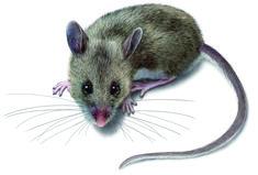 mice | Get Rid of Deer Mice - Deer Mouse Control & Identification - Orkin.com