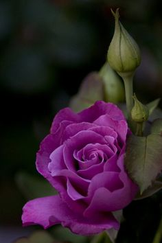 flowers rose purple friend sparkle graphic for you purple rose Love Rose, My Flower, Pretty Flowers, Beautiful Roses, Beautiful Gardens, Orquideas Cymbidium, Ronsard Rose, Colorful Roses, Purple Roses