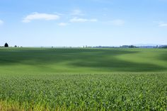 Field of green grass in the Willamette Valley, Oregon Oregon Trees, Willamette Valley, Green Fields, Green Grass, Travel Around, Golf Courses, The Outsiders, Explore, Park