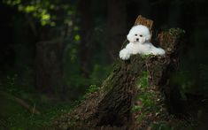 Download wallpapers Bichon Frise, white fluffy dog, pets, puppies