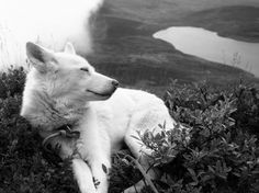 berger blanc suisse dog photo | Photography & Abstract Background Wallpapers on Desktop Nexus (Image ...