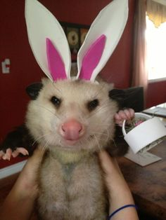 Easter Possum- where's my eggs? And I want my marshmallow peeps or I'm not wearin the ears!