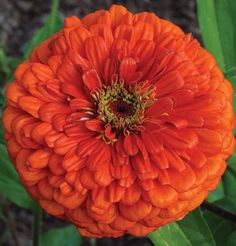 Flowered Orange Zinnia Giant Dahlia is an absolute must for the cutting garden. Similar color and habit of the Benary's Giant series but will produce single, semi-double, and double flowers. All Flowers, Flowers Nature, Orange Flowers, Pretty Flowers, Garden Seeds, Garden Plants, How To Attract Hummingbirds, Attracting Hummingbirds, Growing Gardens