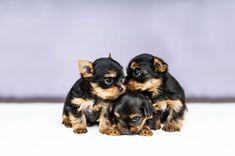 Three Puppies Of Yorkshire Terrier #yorkshireterrier