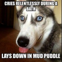 That's a husky for sure!